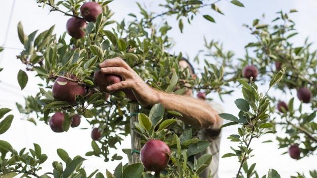 Obstbauer bei der Apfelernte