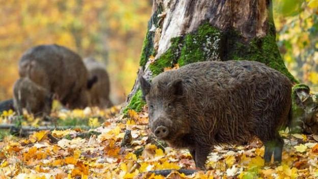 Wildschweine im Wald.