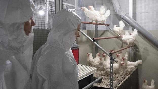 Forscher in einem neuen Forschungshühnerstall bei Bern.