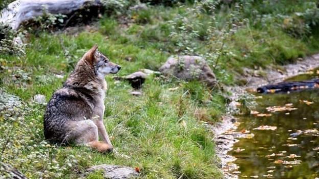 Ein Wolf an einem Bachufer.