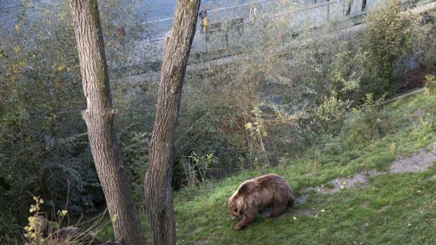 Ein Bär im Bärenpark.