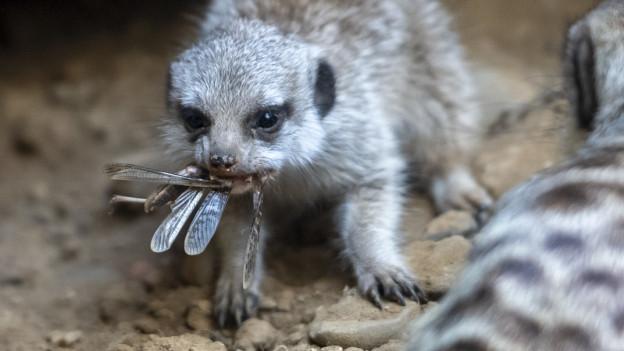 Erdmännchen wollen Heuschrecken fressen, auch wenn der Zoo geschlossen ist.