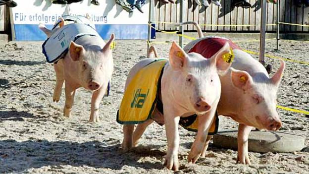 Welche Sau ist die schnellste? An der OLMA rasen die kleinen Schweine nachmittags durch die Arena zum Vergnügen der Besucher.