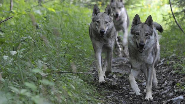 Mit den Raubtieren zusammenleben. Graubünden möchte mehr Geld für diese Annäherung