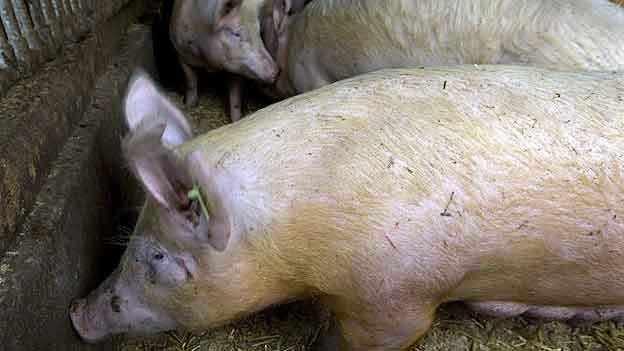 1200 Schweine müssen in Appenzell Innerrhoden notgeschlachtet werden.