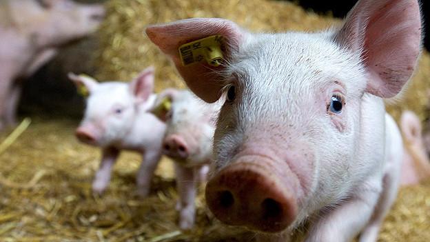 Nach dem Ausbruch der Schweineseuche PRRS fürchten Metzger um ihre Erträge.