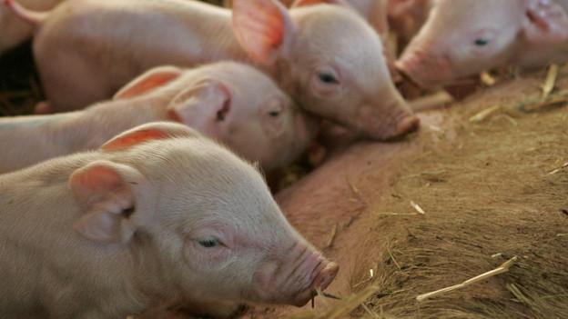 Im Kanton St. Gallen müssten vorerst keine Schweine geschlachtet werden.