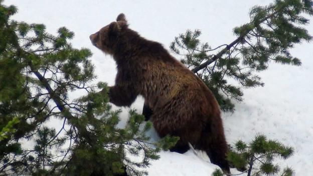 Der Bär ist erwacht. Wo er genau ist, weiss man aber nicht. (Archivbild)