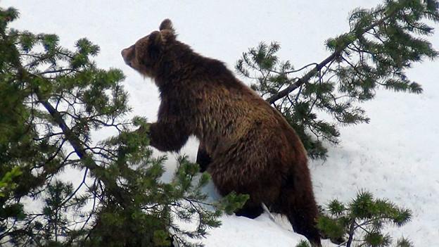 Der Bär M13 sucht die Nähe zu den Menschen