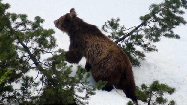 Ein Bild des Bärs M13, wie er im Schnee durch den Wald spaziert.