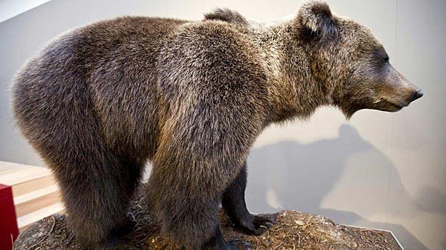 Der Bär JJ3 wird im Naturmuseum bald Gesellschaft von M13 erhalten.