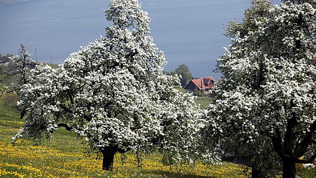 In Bussnang sollen die Birnbäume weiter blühen.