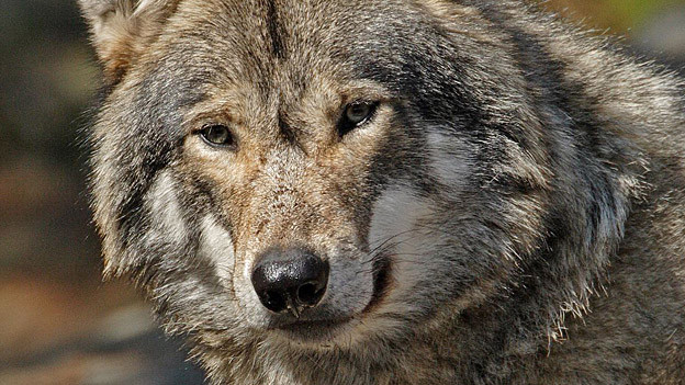 Der Wolf ist in den Kanton St. Gallen zurückgekehrt.