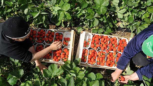 Bauern sind auf ausländische Helfer angewiesen.
