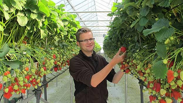 Matthias Müller pflegt seine Erdbeeren.