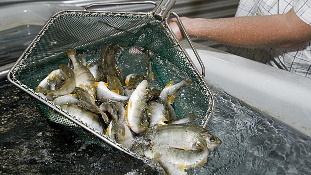Die Abwärme der GEVAG soll für eine Fischzuchtanlage genutzt werden.