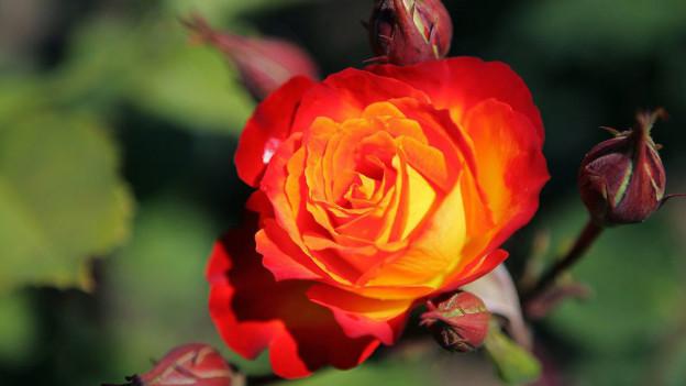 In Bischofszell findet die Rosen- und Kulturwoche statt.