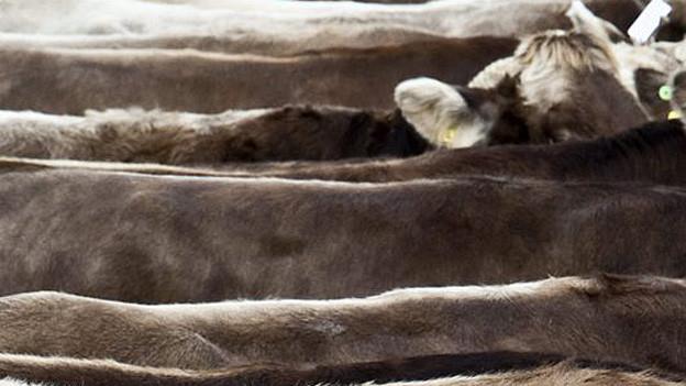 In der ganzen Ostschweiz werden verdächtige Kühe entdeckt.