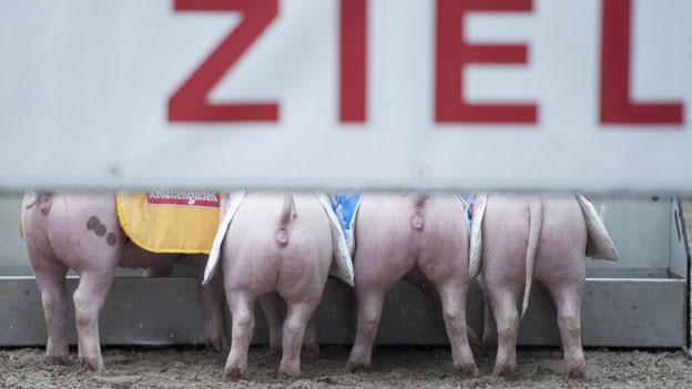 Tradition an der Olma: Das Schweinerennen.