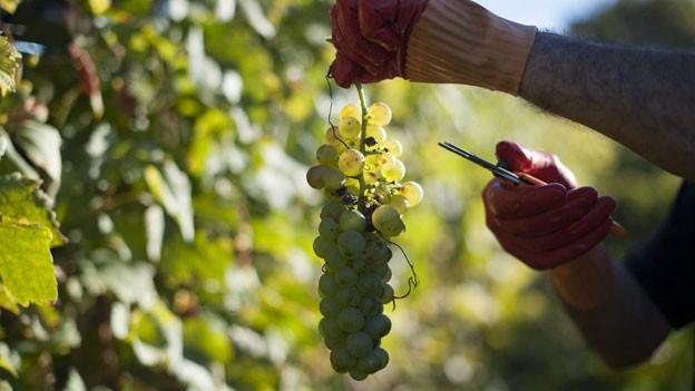 Die Trauben haben dieses Jahr sehr gute Qualität, meinen die Winzer.
