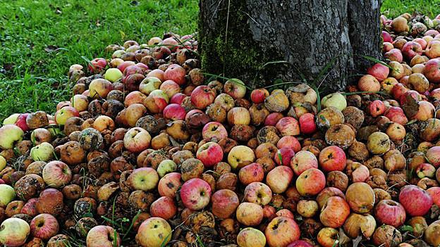 Viele Früchte von privaten Apfelbäumen verfaulen. Ein Startup-Unternehmen schafft Abhilfe.
