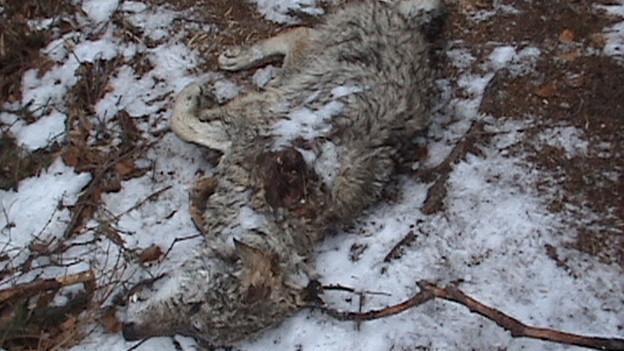Wildhüter haben das Tier im Wald gefunden.