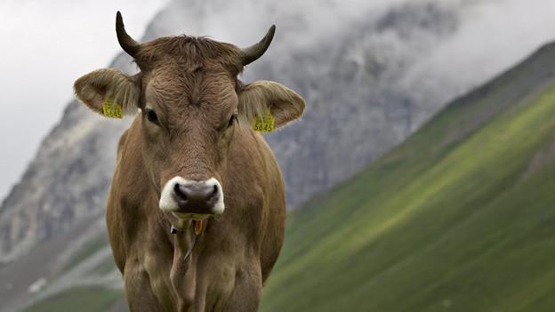 Über 1000 Rinder aus der Schweiz verbringen den Sommer jeweils auf Alpen im Vorarlberg. Dort kam es zu Ansteckungen.