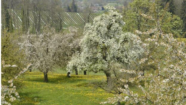 Hochstämmer im Thurgau in voller Blüte