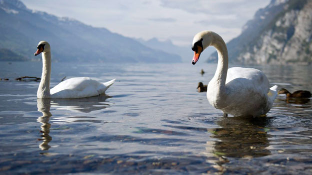 Für die Schwäne im Walensee reicht das Wasser noch lange.