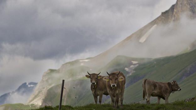 Ostschweizer Rinder sind im Vorarlberg begehrt