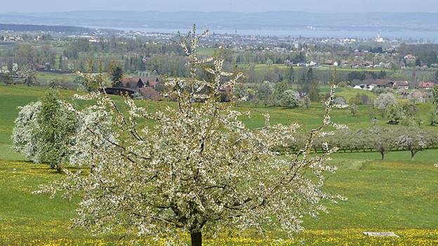 Obstbaum mit Blick auf den Bodensee
