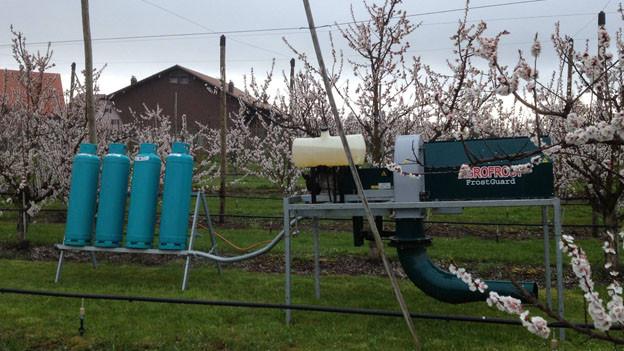 Aprikosenbäume werden gewärmt: Hier in Berg (SG)