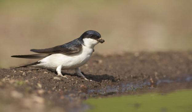Die Mehlschwalbe war im 2010 der Vogel des Jahres