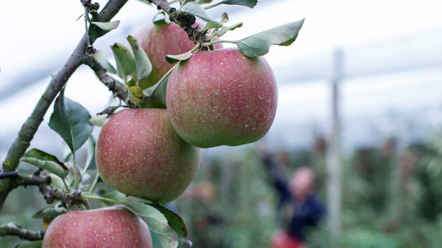 Äpfel an einem Zweig in einer Obstplantage.