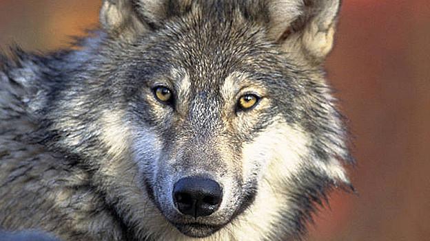 Ein Wolf ist in der Ostschweiz unterwegs.