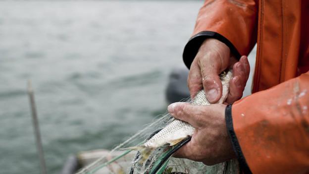 Den Bodenseefischern gehen immer seltener Egli in die Netze.