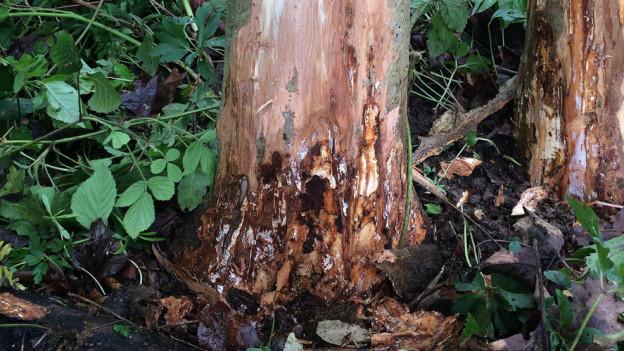 Der Pilz bei den Eschen verbreitet sich weiter