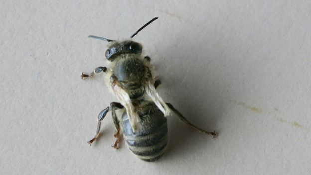 Verstümmelte Biene