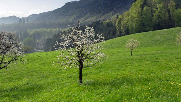 Für Projekte zum Schutz von seltenen Bäumen bezahlt der Bund neu Subventionen.