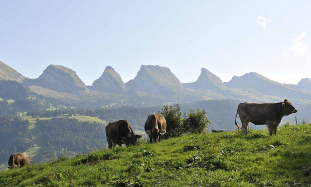 Churfirsten und Kühe auf einer Weide
