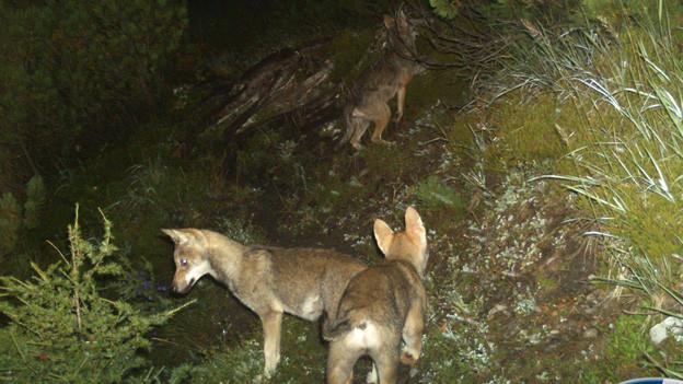 Junge Wölfe tapsen in Fotofalle