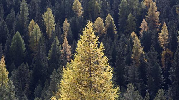 Wald in Zernez