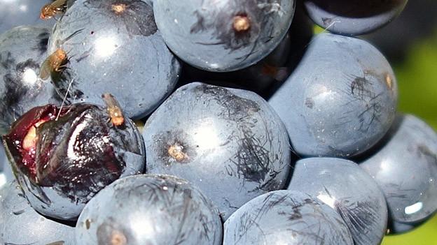 Dank neuer Mitteil scheint die Thurgauer Weinernte gesichert.