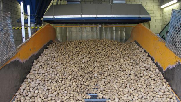 Nicht alle Kartoffeln eignen sich als «Chips».