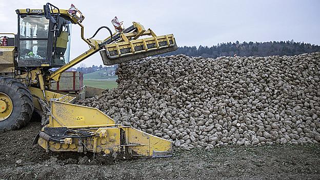 Zuckerrüben werden auf den Lastwagen geladen.