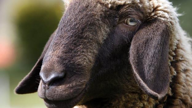 Zum Beispiel mit Engadiner Schafen könnte Kulturlandschaft gepflegt werden.