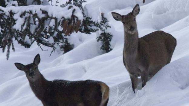 Ein Hirsch im Schnee
