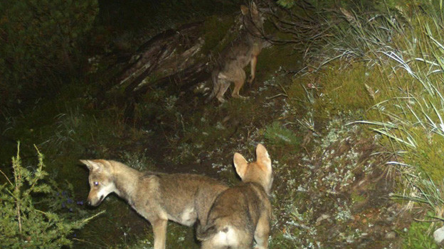 Wölfe in einer Fotofalle