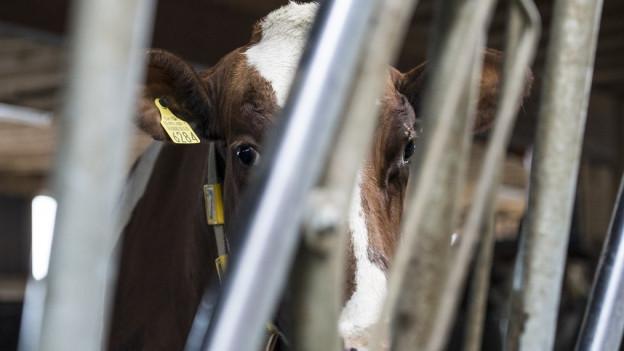 Kuh hinter Gittern.