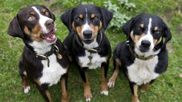 Hunde in Ausserrhoden müssen nicht zwingend an die Leine.